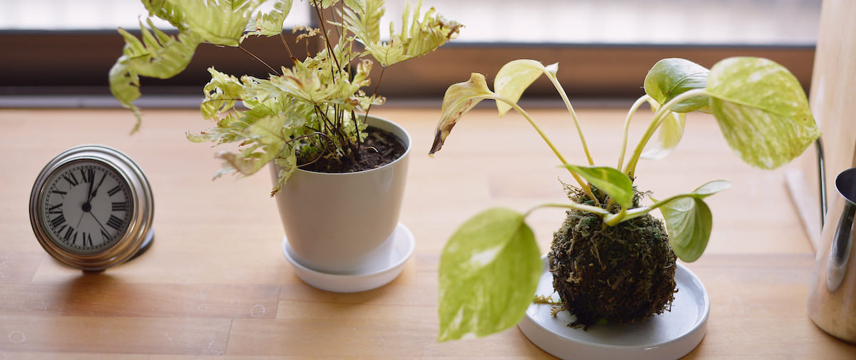 稲城長沼の中古マンションのリノベーション後の観葉植物